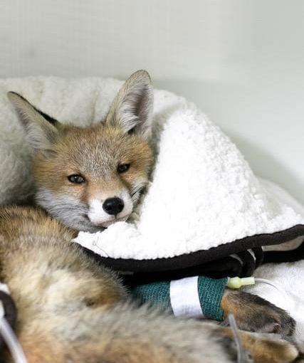 Ein Fuchs liegt in einer Decke