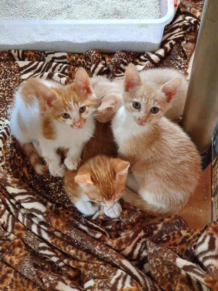 Drei beige Katzen