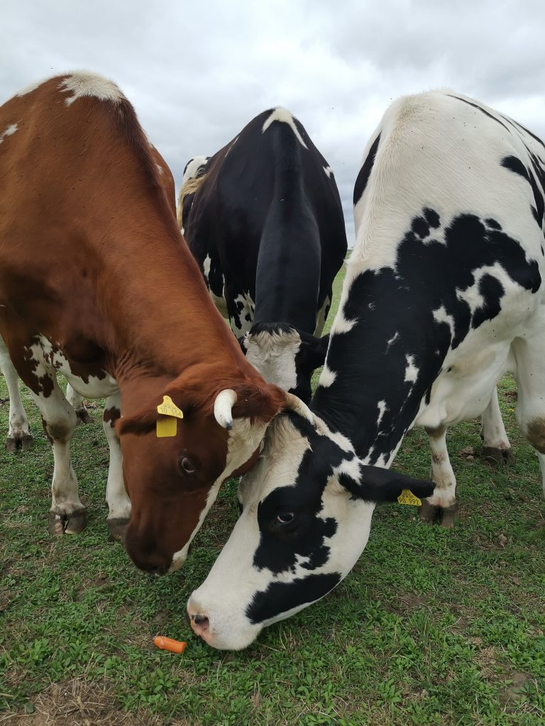 Ein Gruppe Kühe neigen die Köpfe nach einer Karotte